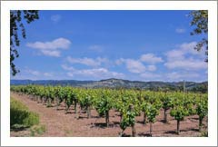 Napa Valley Vineyard For Sale - Oakville AVA - Merlot & Chardonnay
