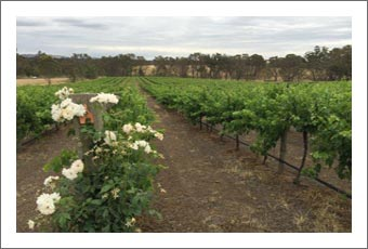 Australia Olive Grove For Sale - Olive Orchard For Sale - Australia Wine Country Real Estate