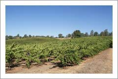 Northern California Vineyard For Sale - 120 Acres - 30 Acres Cleared - Deer Fenced - 4 Wells - Real Estate