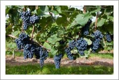 Large Pennslyvania Vineyard For Sale - Erie County Real Estate - Wine Country
