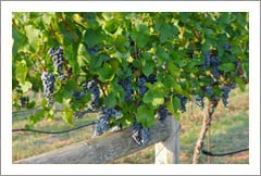 Wineries For Sale - Virginia Winery, Vineyard, Estate Home and Land For Sale - Virginia Wine Country Real Estate