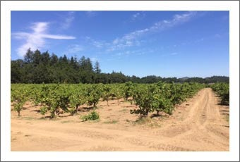 Sonoma County Vineyard For Sale - Dry Creek Valley Zinfandel Vineyard