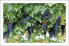 New Zealand Vineyard For Sale - Gimblett Gravels - New Zealand Wine Country