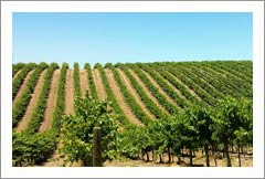 Paso Robles AVA 40 Acre Cabernet Vineyard, Victorian Style Farmhouse and Barn For Sale - Wine Country Ranch