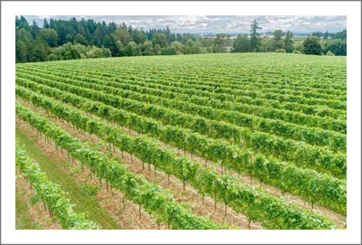 Oregon Vineyard For Sale - Willamette Valley Vineyard For Sale - Pinot Noir & Pinot Gris