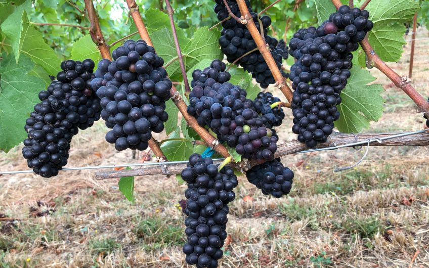 34+ Acres – 15 acre Planted Organic LIVE Certified Vineyard – Chehalem Mountain AVA
